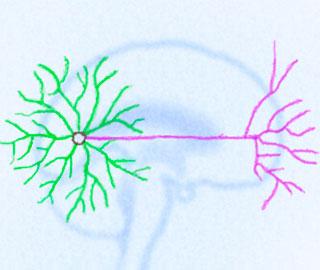 Один Ген Контролирует Обе Половины Нервных Клеток