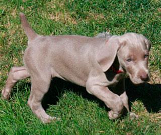 Генные Мутации у Собак Предлагает Ключи к Дефектам Нервной Трубки у Людей
