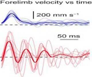 Выявлены Нейроны Спинного Мозга, Управляющие Движениями Конечностей