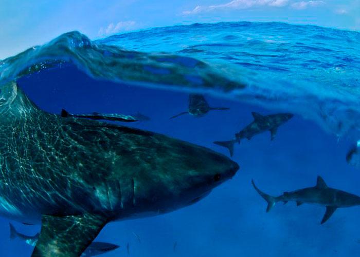 Акулы, Багамские Острова