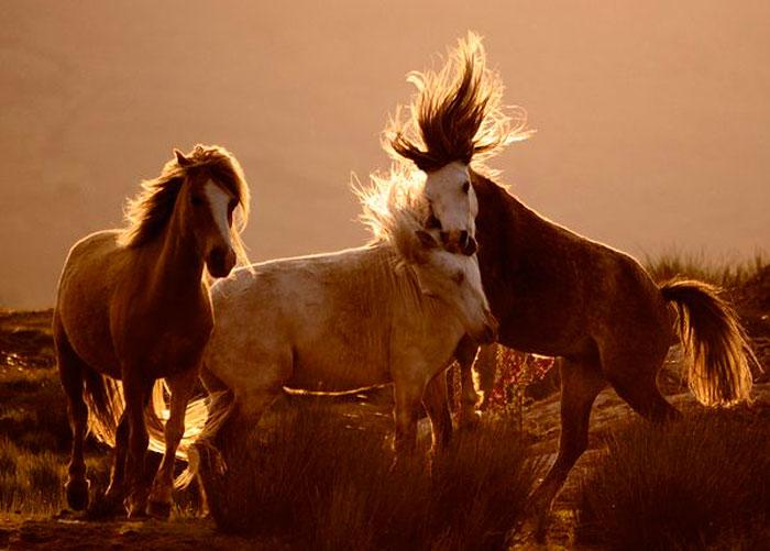 Лошади, Уэльс