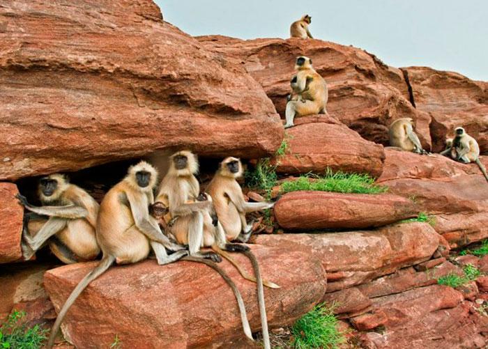 Обезьяны Няни, Индия