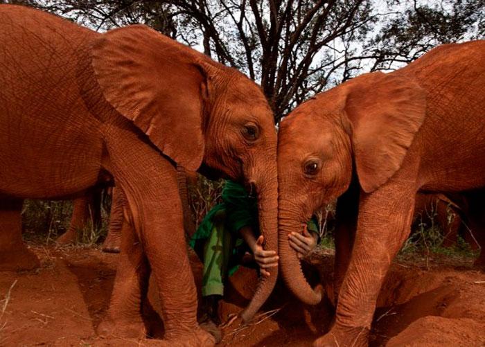 Слоны Сироты, Кения