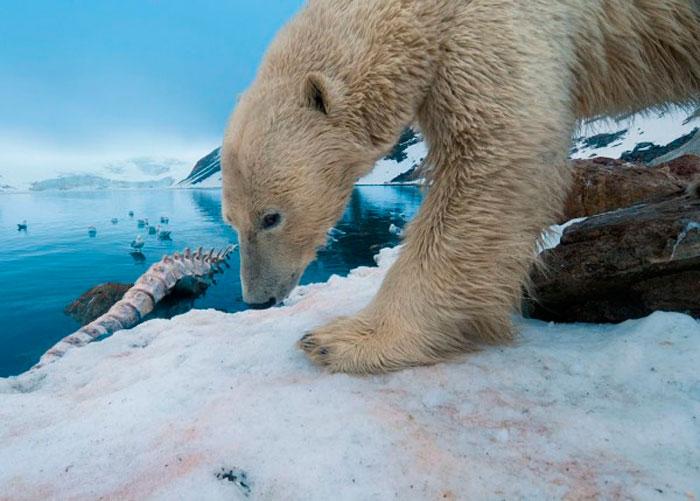 Белый Медведь с Китовой Костью
