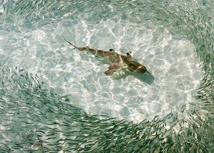Черноперая Рифовая Акула, Мальдивы