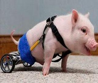 Поросёнок на Инвалидной Коляске, Chris P. Bacon