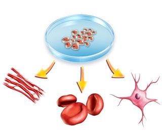 Исследования Стволовых Клеток, Дает Надежду, что Органы Можно Регенерировать в Организме Пациентов
