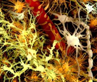 Как Организм Регулирует Основные Нейрогормональные Функции