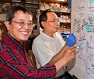 Обнаружен Новый Механизм при Травме Спинного Мозга