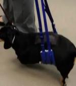 Парализованные Собаки Могут Помочь в Восстановлении Людей от Травмы Спинного Мозга