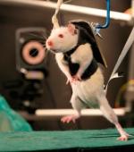 Новые Исследования по Восстановлению Спинного Мозга у Крыс, Могут Помочь Парализованным Людям