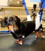Регенерация Клеток Позволила Парализованной Собаке Вновь Ходить