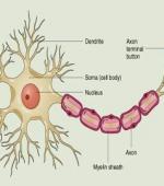 О Восстановлении Нервов при Травме Спинного Мозга